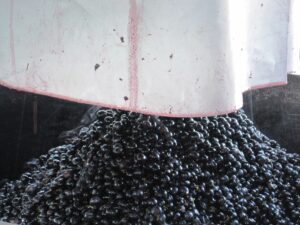 09 Bordeaux harvest Grapes 300x225 2009 Pomerol Harvest, The Pomerol Report Chateaux Owners Comment