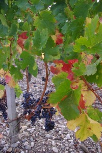 2010 Brane harvest leaves and fruit 200x300 2010 Pomerol Harvest is in full bloom in Bordeaux, Expect Low Yields