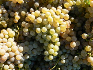 P10304651 300x225 2010 Bordeaux White Wine Harvest Finishes. Vintners Thrilled!