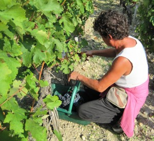 Pichon Baron Harvest 300x276 Will Optical Sorting Machines matter for the Bordeaux harvest?