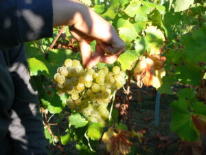 Valandraud Blanc 300x225 2010 Bordeaux White Wine Harvest Finishes. Vintners Thrilled!