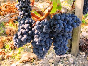 grapes 2 300x225 2009 St. Emilion Harvest, Troplong, Pavie, Fleur Cardinale, Clos Fourtet & More