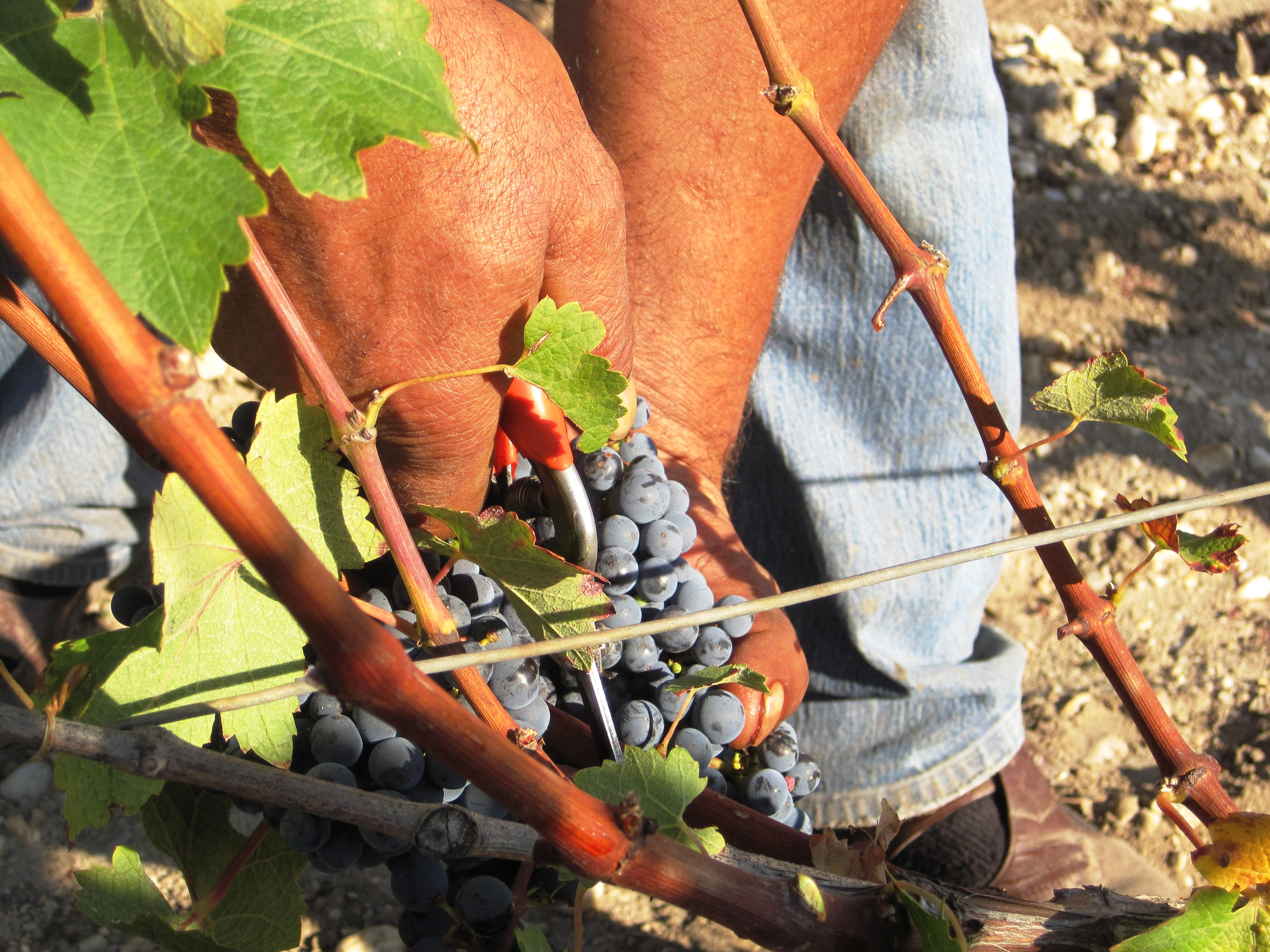 2010 Mouton Rothschild Harvest Reminds Philippe Dhalluin of 1986, 1996