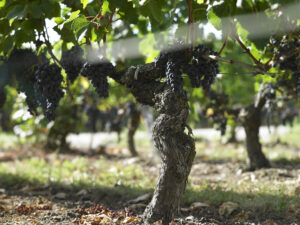 Clos des Jacobins Grapes 300x225 2010 Clos des Jacobins Harvest Interview with Thibaut Decoster