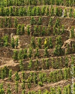 Cote Rotie Vines1 241x300 Cote Rotie Rhone Valley Guide to all the Best Wines Vintages Vineyards
