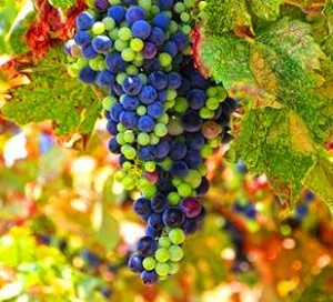 Bordeaux grapes hanging on the vine 300x272 Complete Guide to Bordeaux Wine Grape Varieties for Red and White Wine