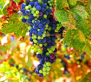 the history of wine and the different types of grapes used in its making The juicy truth of biblical wine by the making and use of wine in bible times used several different methods to preserve wine in.