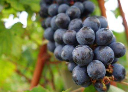 Cabernet Sauvignon Grapes on vine In Honor of National Cabernet Sauvignon Day, August 30!
