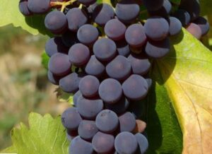 Grenache Grapes on vines 300x218 Grenache Wine Grapes, Flavor, Character History Wine Food Pairing Tips
