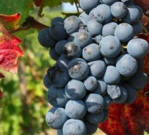 Mourvedre Grapes on the vine 300x272 Mourvedre Wine Grape, Flavor Character History Wine Food Pairing Tips