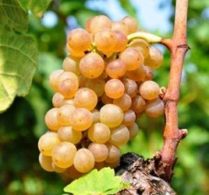 Roussanne Grapes 300x280 Roussanne Wine Grape, Flavor Character History Wine Food Pairing Tips
