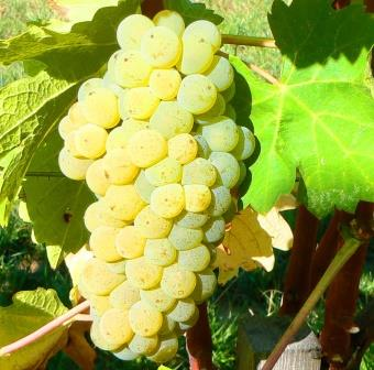 Viognier Wine Grapes 21 Viognier Wine Grapes, Flavor, Character, History, Wine Food Pairing Tips
