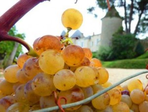 Yquem Semillon grapes 300x228 Semillon Wine Grapes, Flavor, Character, History Wine Food Pairings