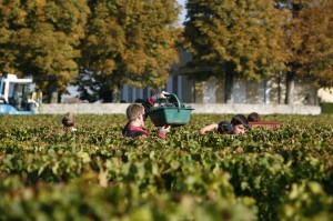 2011 La Conseillante harvest 300x199 2011 La Conseillante Jean Michel Laporte calls Harvest Opposite of Normal