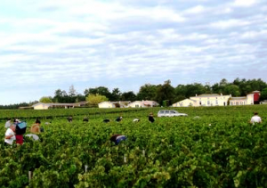 Chevalier 2011 harvest 300x211 2011 Domaine de Chevalier Bordeaux White Wine Harvest is Underway