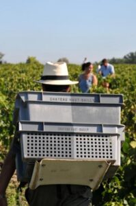 HAUT BAILLY 2011 HARVEST GRAPES 199x300 2011 Haut Bailly Harvest, Veronique Sanders Calls 2011 Vintage Unusual