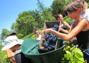 Haut Brion 2011 Harvest 300x214 2011 Haut Brion Starts Picking Merlot Jean Philippe Delmas