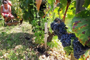 Haut Brion 2011 Harvest Pickers 300x202 2011 Haut Brion Starts Picking Merlot Jean Philippe Delmas