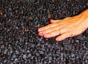 2011 Bordeaux Harvest Grapes Hands 300x216 2011 Labegorce Harvest Marjolaine Maurice de Coninck calls it unusual
