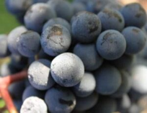 Bordeaux Grapes Ripe 300x230 2011 Bordeaux, Classic Vintage for Villemaurine St. Emilion