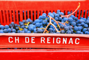 REIGNAC 2011 Grapes11 300x204 2011 Reignac Harvest Demands Intense Sorting