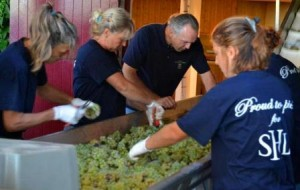 Smithwhitegrapes 300x190 2012 Bordeaux White Wine Harvest Over, Red Wine Grapes Still Not Ripe