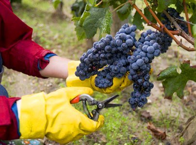 2012 Bordeaux Harvest Chateau Brown Great Potential for White Wine