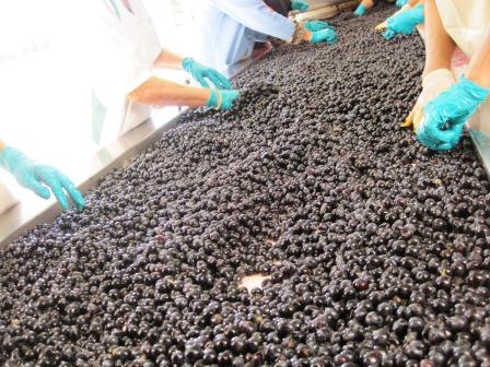 2012 La Couspaude St. Emilion Harvest 3 Weeks Later Than Usual