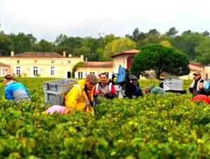 2012 domaine de chevalier harvest 300x228 2012 Domaine de Chevalier has Late Harvest, Olivier Bernard Interview
