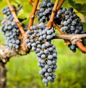 Bordeaux Grapes in vineyard 292x300 Learn about Pessac Leognan Bordeaux Best Wines Vineyards Chateau