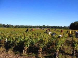 2013 Bordeaux Harvest 300x225 2013 Bordeaux Vintage Report and Harvest Summary