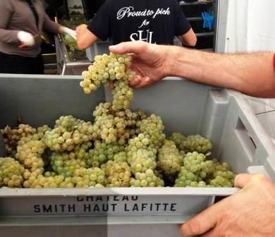 2013 Smith Haut Lafitte White Wine 2013 Smith Haut Lafitte White Wine Harvest Interview Fabien Tietgen