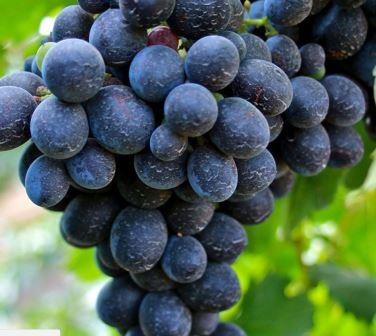 Cinsault grapes 1 Cinsault Wine Grapes, Flavor, Character History Wine Food Pairing Tips