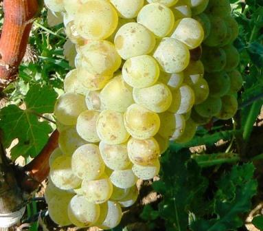 Clairette Clairette Wine Grapes, Flavor, Character, History, Wine Food Pairings