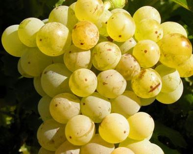 Grenache Blanc Grapes 1 Grenache Blanc Wine Grapes Flavor Character History, Wine Food Pairing
