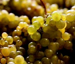 Bordeaux White Wine Grapes Harvest Best White Bordeaux Wine Guide, Top Chateau, Taste Character Grapes