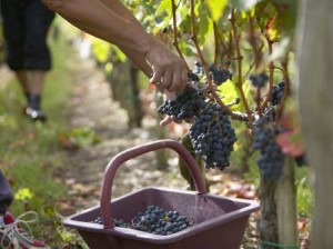 Bordeaux harvest picker with basket 300x224 2014 Bordeaux Harvest for Red WIne Grapes Taking Place Now
