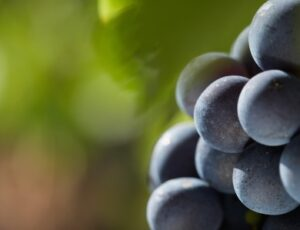 Grenache Grapes on the vine 300x230 Cabernet Sauvignon Wine Grapes Flavor Character History Food Pairings