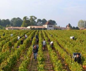 Smith Haut Lafitte Picking 300x248 2014 Pessac Leognan Vintage Report, Tasting Notes, Ratings, Reviews